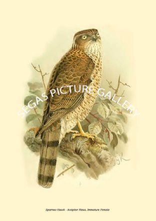 Sparrow-Hawk - Accipiter Nisus, Immature Female